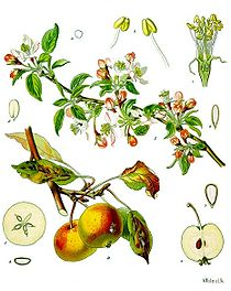 apple botanical
